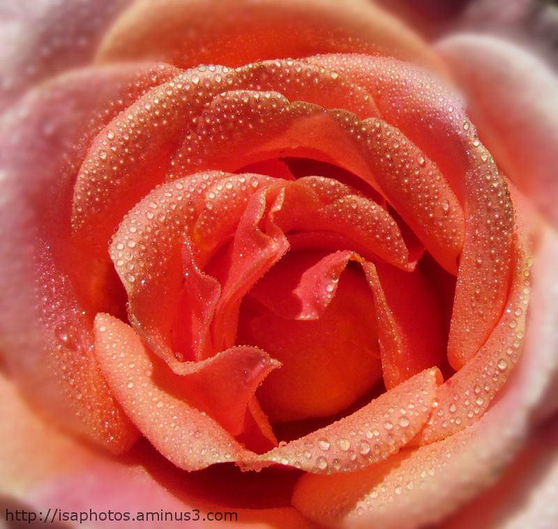 Perles de rosée