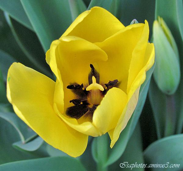 La tulipe jaune