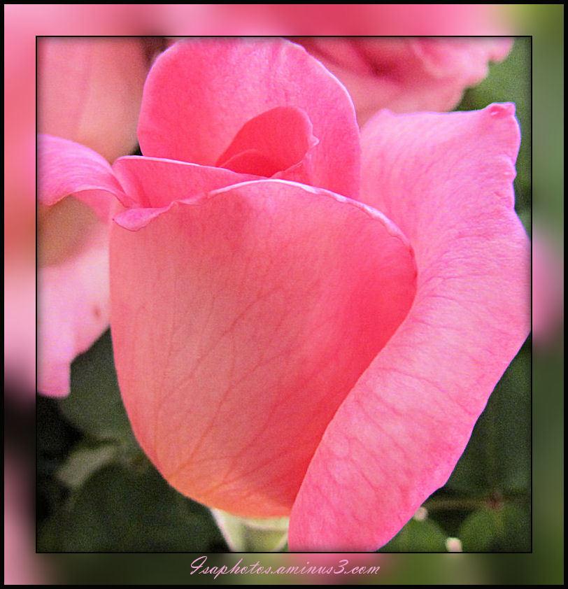 Une rose pour ma Maman