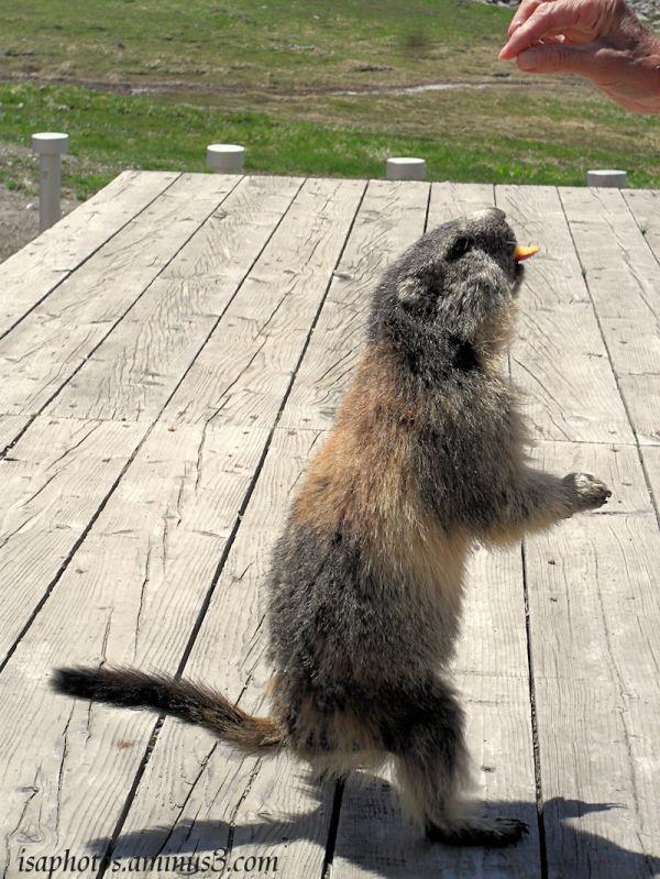 Marmotte gourmande...