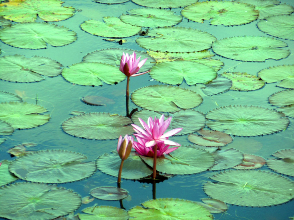 Lotus, Tamilnadu, India