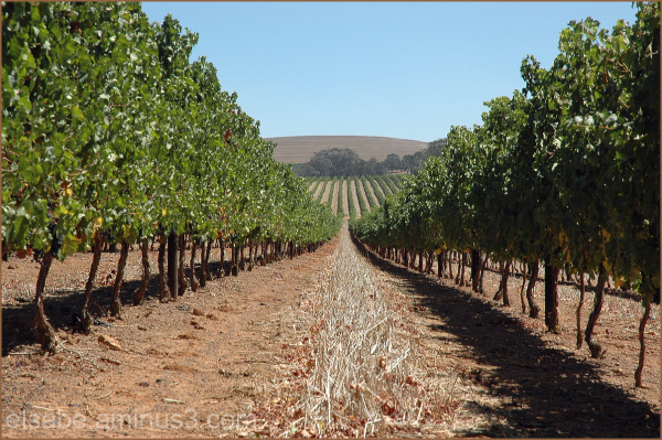 Vineyard,wine farm,grapes,winelands
