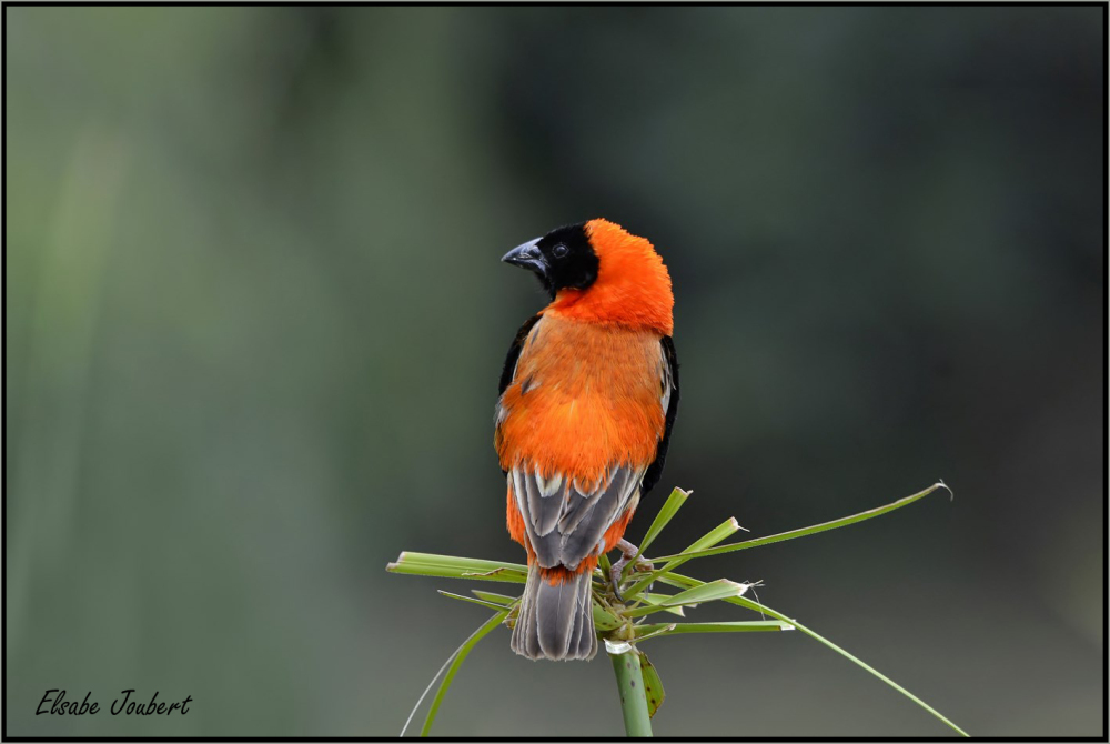 Red Bishop,b birds,avian,nature,South-Africa