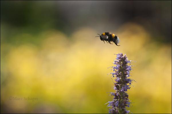 bumblebee (2/2)