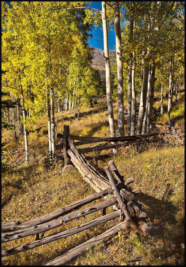 split rail fence weaves through aspens