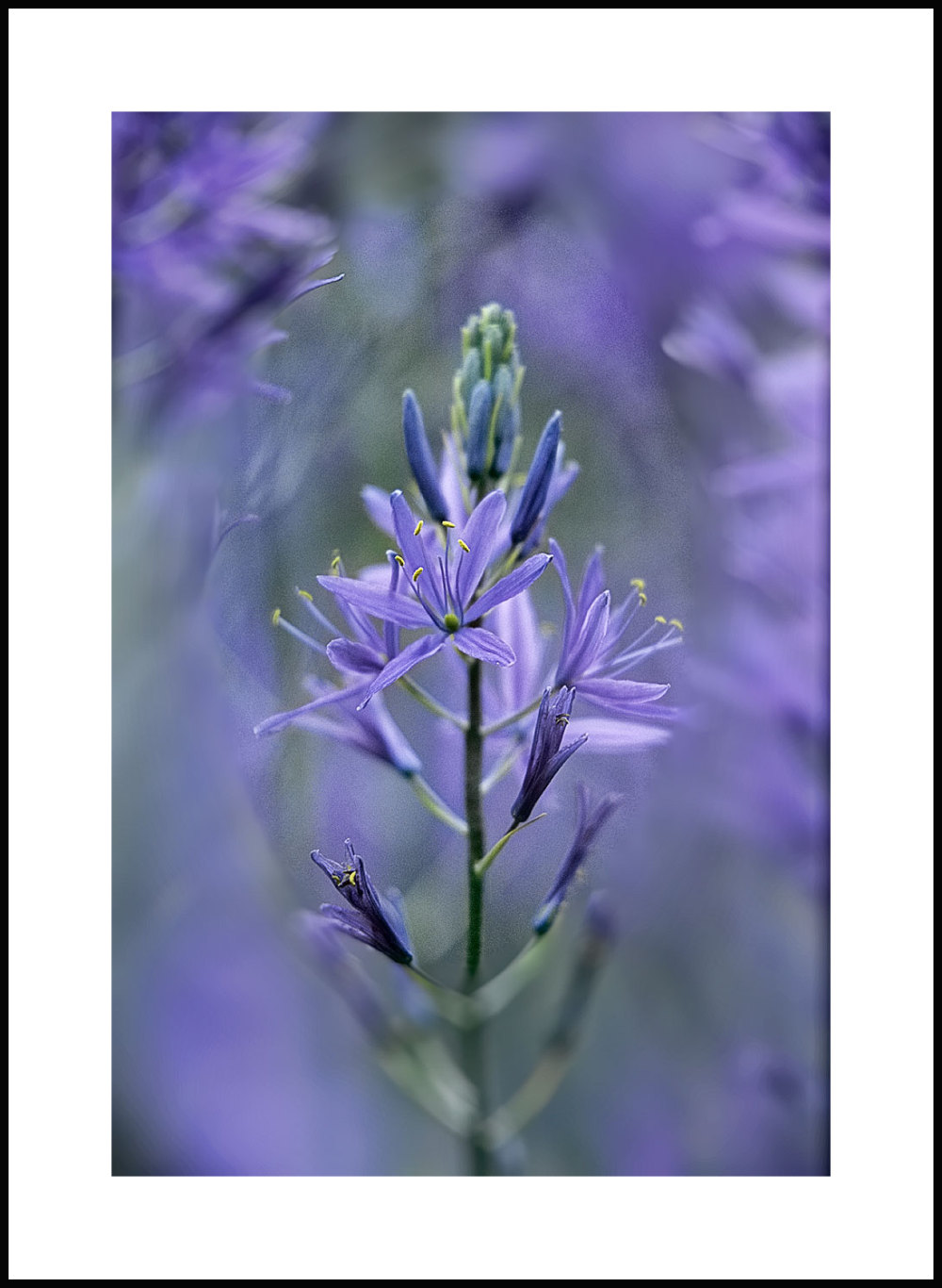 camassia bloom viewed through a mass of bloom