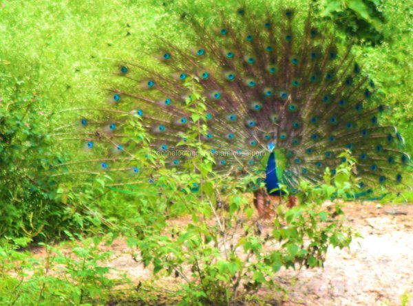 Dancing Peacock in Bandipur
