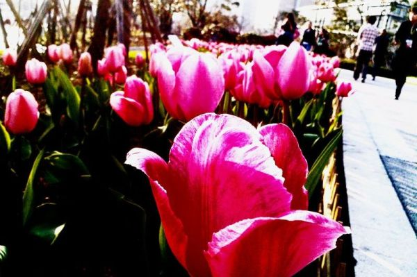Tulip: It comes the spring