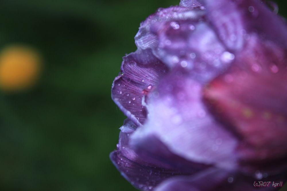 Tulipe en gros plan