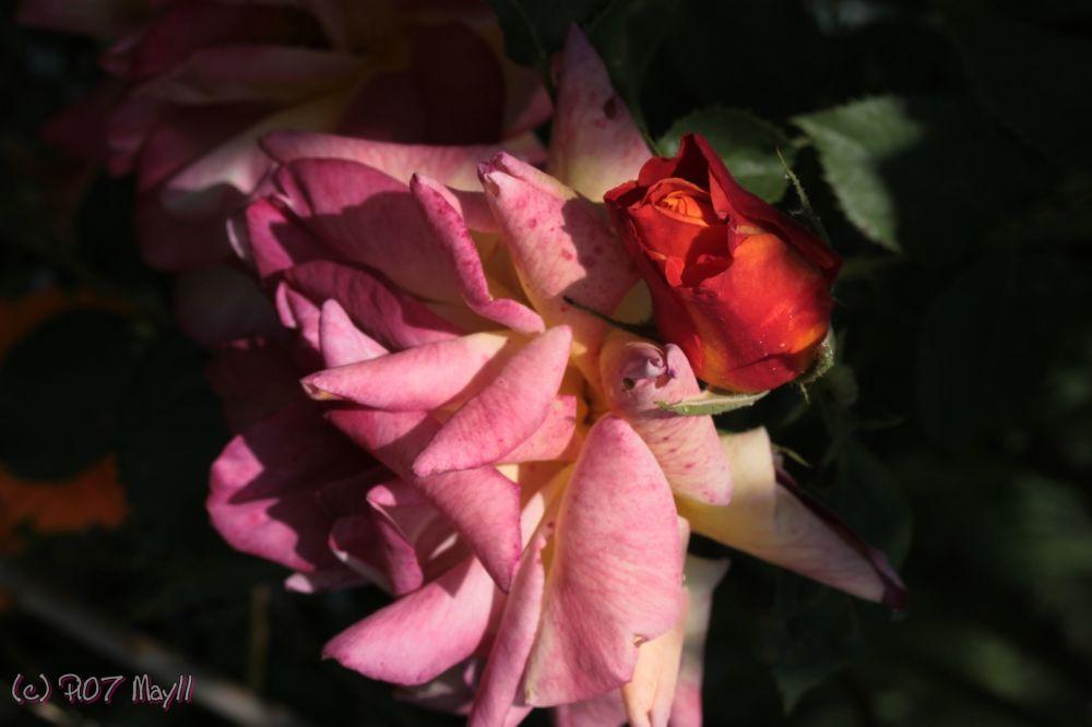 Rose rose en gros plan
