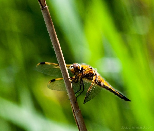 Four Spotted Chaser 1 of 2