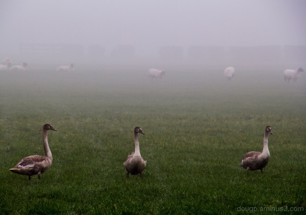 Signets in the mist