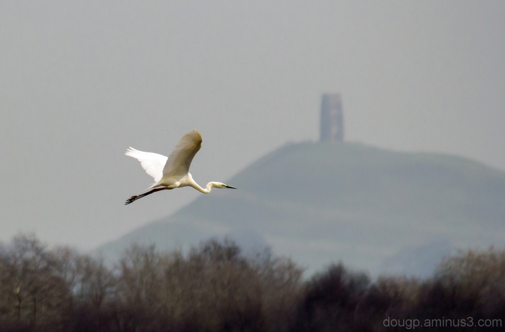 Great Egret in front of the Tor