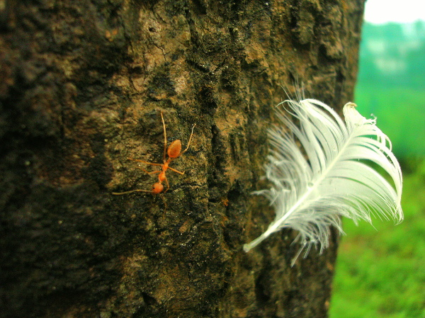 Red ant on a tree beside a feather