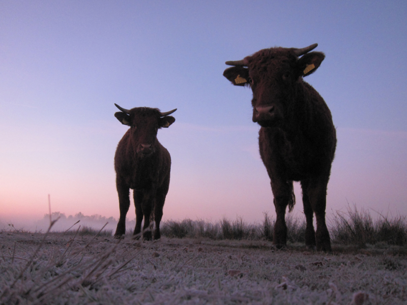 cows at dawn