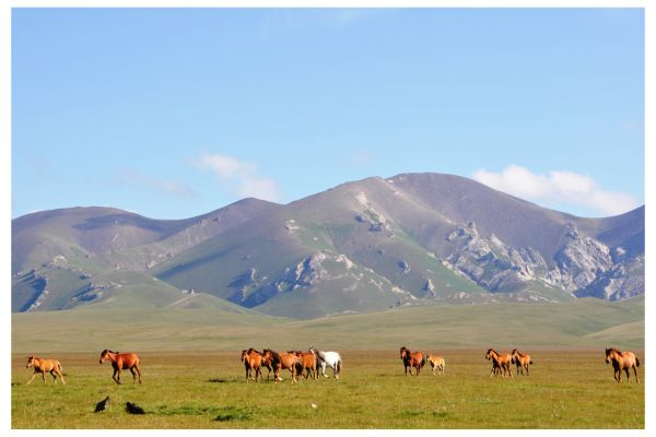 Horses at Song Kul