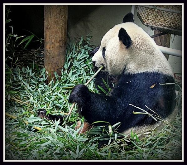 The Famous Edinburgh Pandas!!