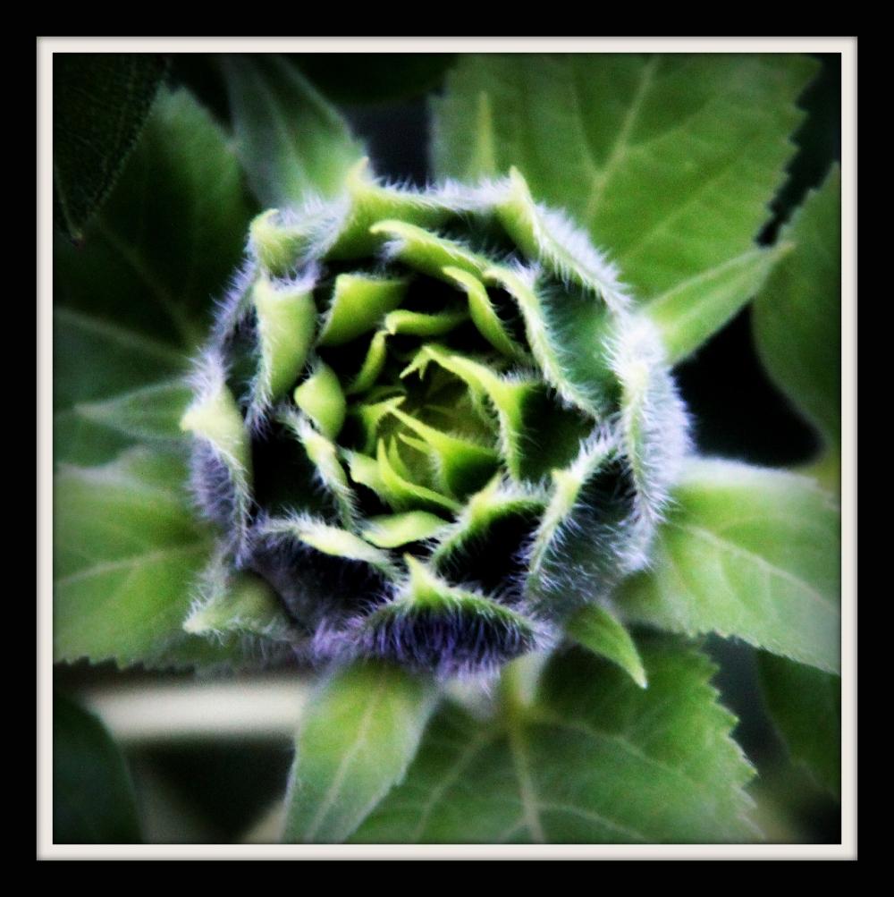 In the Garden Baby Sunflower