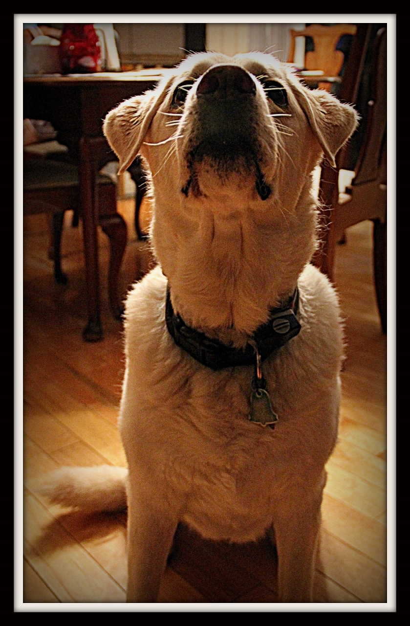 I am a good dog I deserve a cookie!
