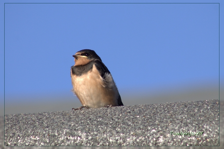jonge zwaluw op blokhut wacht op voeding