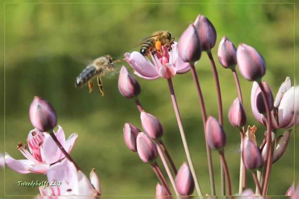bijen op zwanenbloem beschermdq