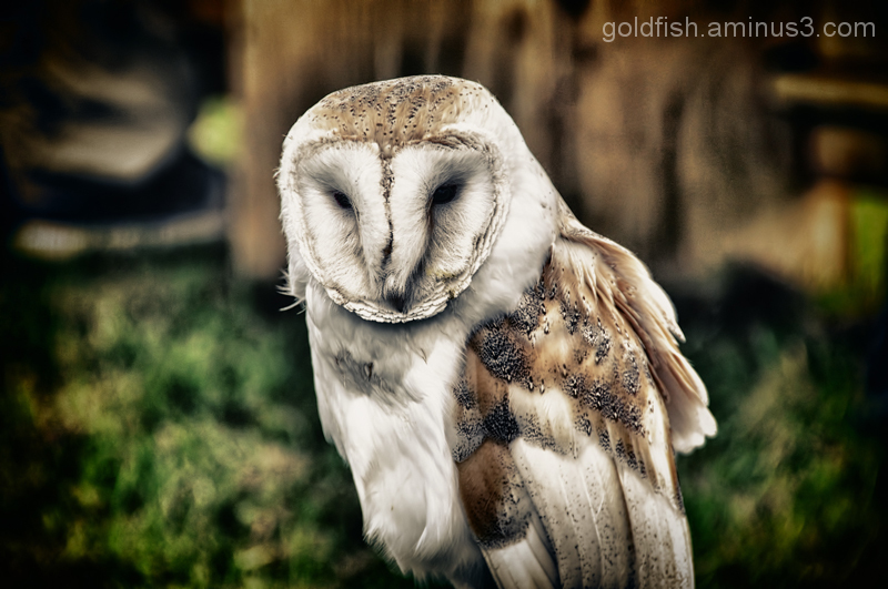 Little Wing 3/7 - The Barn Owl