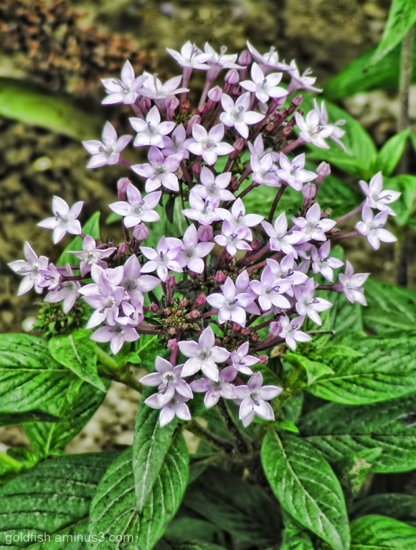 Heliotropium Arborescens - Garden Heliotrope