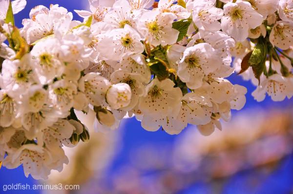 Cherry Blossom 1/2