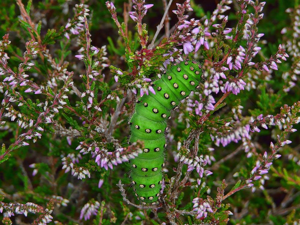 Emperor Moth - Saturnia Pavonia (Caterpillar)