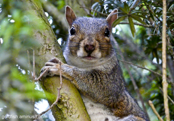 Grey Squirrel (Sciurus Carolinensis) - 2/3