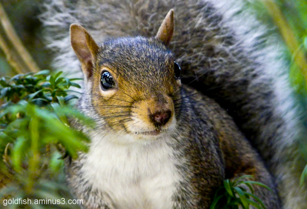 Grey Squirrel (Sciurus Carolinensis) - 3/3