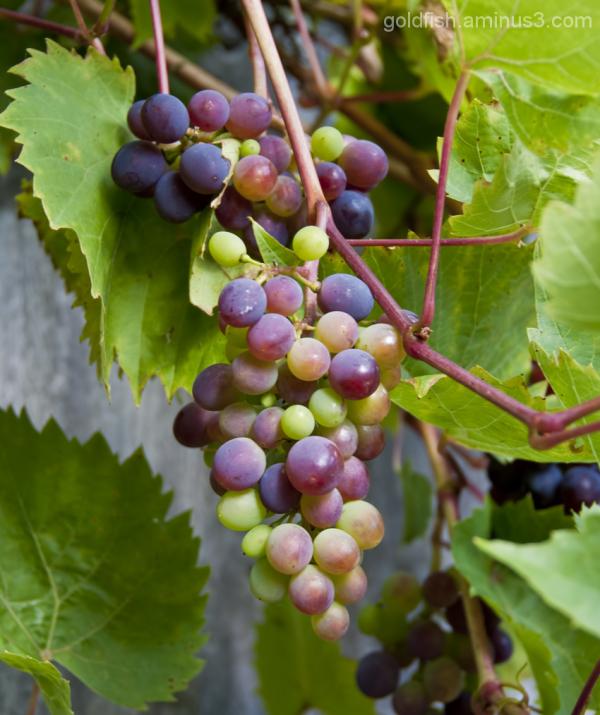 Grape Vine - Vitis Vinifera 1/4