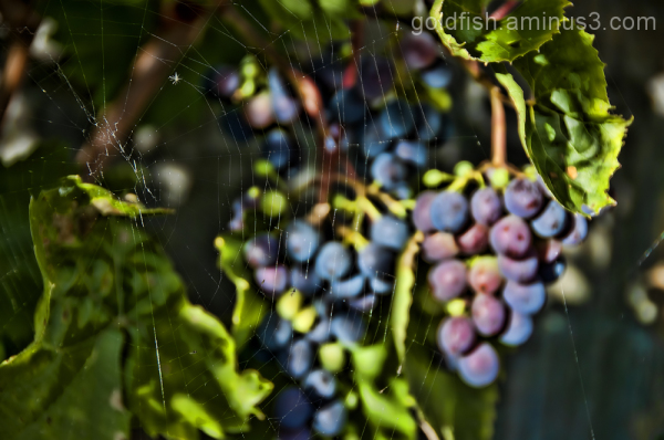Grape Vine - Vitis Vinifera 3/4