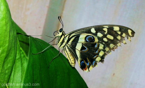 Flutter-by Butter'ly 6/10