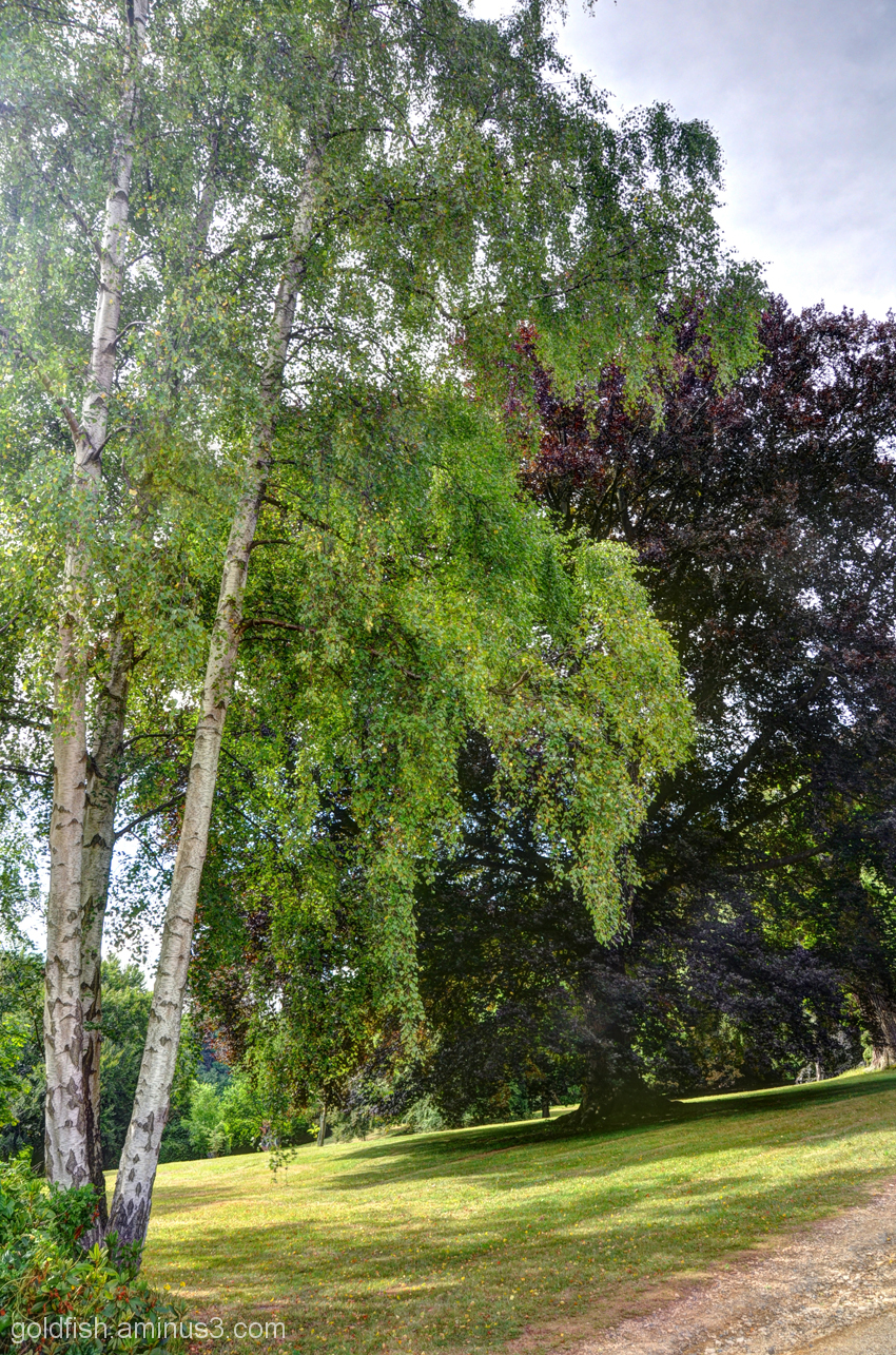 Silver Birch & Copper Beech