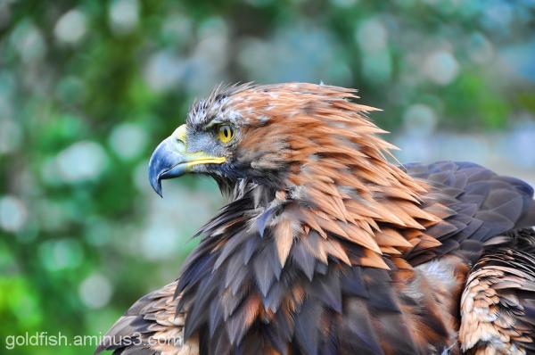 Golden Eagle - Aquila Chrysaetos 1/6