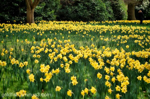 Daffodils 3/4
