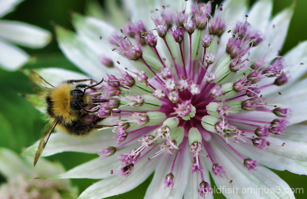 Astrantia Major and the Bombus