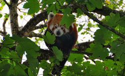 The Red Panda - Ailurus Fulgens 3/3