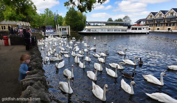 Thames @ Windsor 3/3 Swan Highway