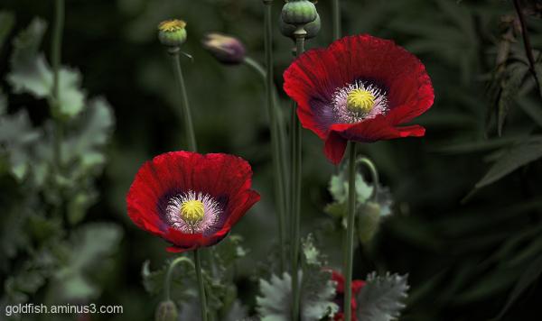 Opium Poppy - Papaver Somniferum