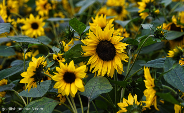 Sunflower - Helianthus ii