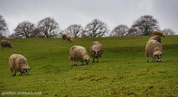 The Sheep ii