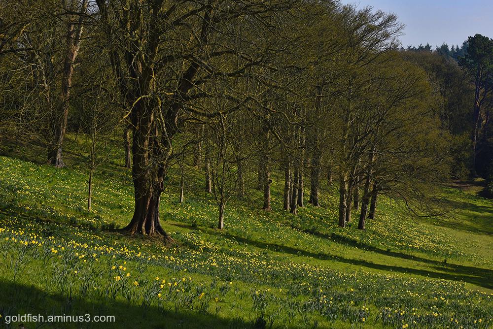 Waddeson Manor - Daffodil Valley