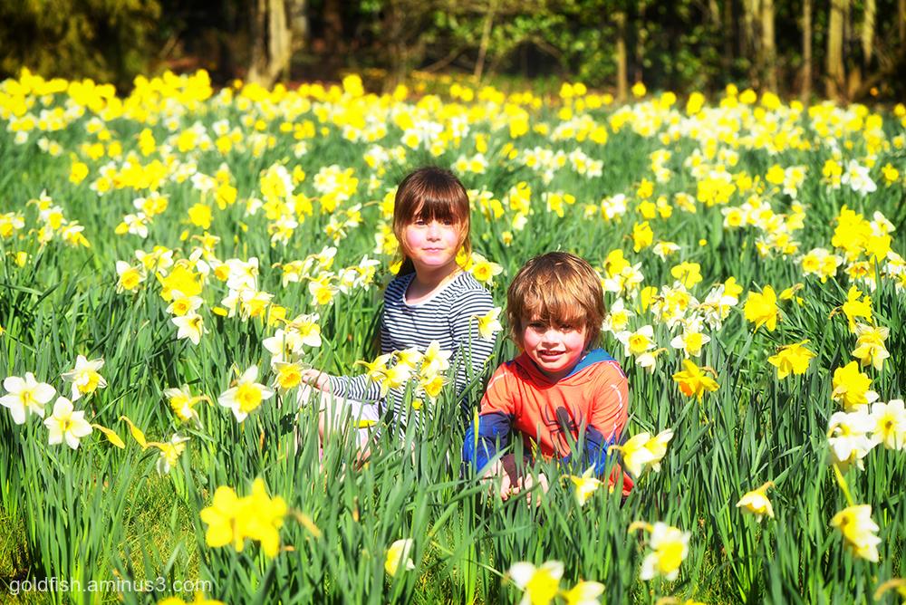A host, of golden daffodills