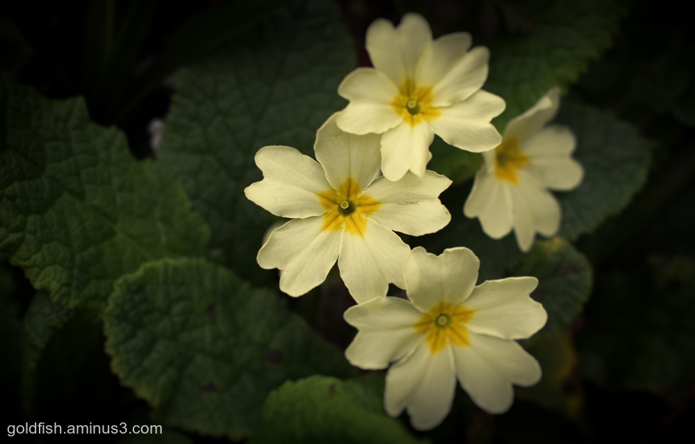 English Primrose - Primula vulgaris