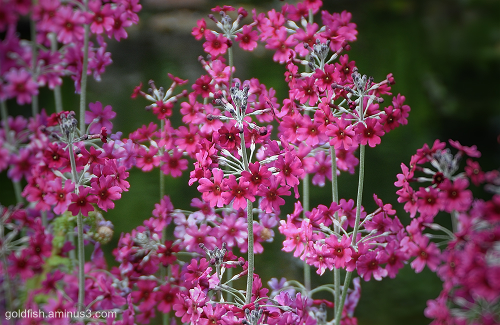 Japanese Primula - Japonica