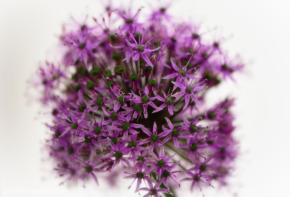 Allium Christophii - Star of Persia
