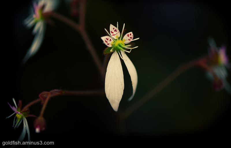 Saxifraga Stolonifera - Maroon Beauty