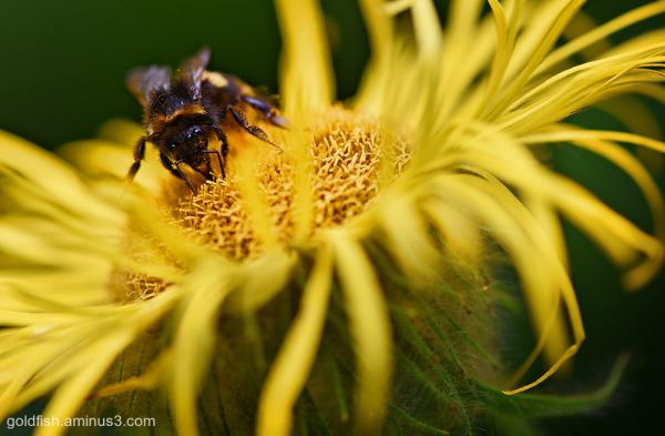 Meadow Fleabane and the Honey Bee